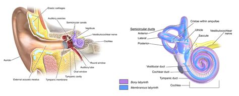 crystals in inner ear bppv crystals related keywords suggestions bppv