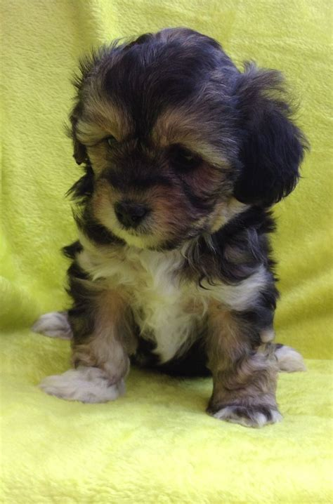 lhasa poo puppies gorgeous lhasa poo puppies for sale hinckley leicestershire pets4homes