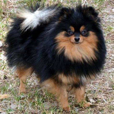 black and brown pomeranian 300 best images about animals dogs and puppies on poodles
