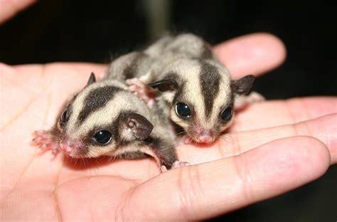 cute baby animals of australia slapped ham