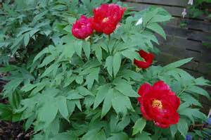 Red Flower Shrub - paeonia suffruticosa landscape architect s pages