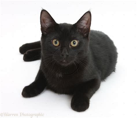 white black cat time to tell me what is your favourite cat ibraheem10