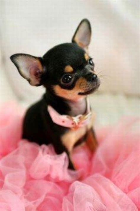 names for chihuahua puppies 17 best ideas about names on names names and top
