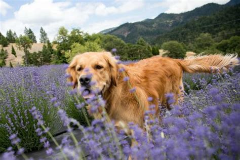 lavender on dogs benefits of lavender for dogs freshbeak
