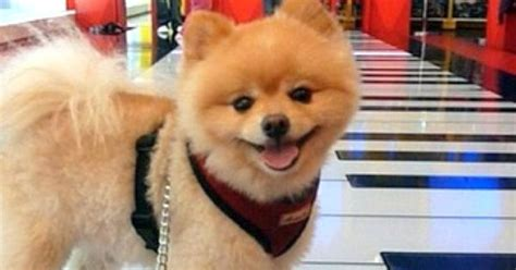 3 pound pomeranian what a 10 pound pomeranian can t learn to play piano many decades ago it was