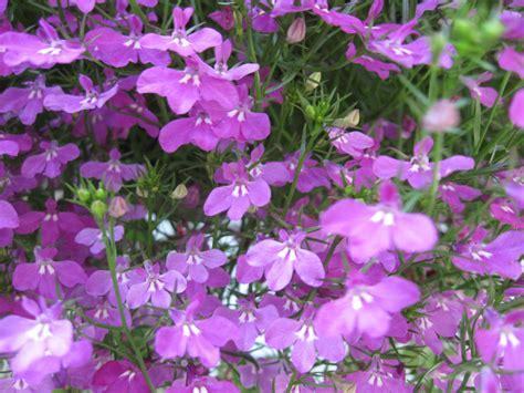 file purple flowers 052708 jpg wikimedia commons
