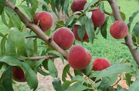 nc fruit trees web resources tree fruits nc state extension
