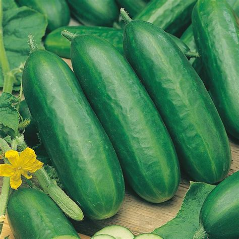 cucumber seeds cucumber indoor socrates f1 agm seeds d t brown
