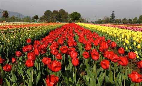 Tulip Flower Garden In India Tulip Flower Garden In India Asia S Largest Tulip Garden In Kashmir Paradise Kashmir Tulip