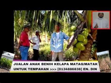 Harga Bibit Kelapa Hibrida Medan rahsia dibongkarkan teknik semaian anak benih kelapa mataq