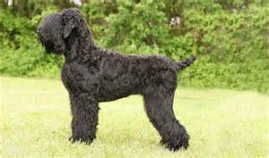 Black Russian Terrier Shedding by Black Russian Terrier Puppies Facts Breeders Pictures