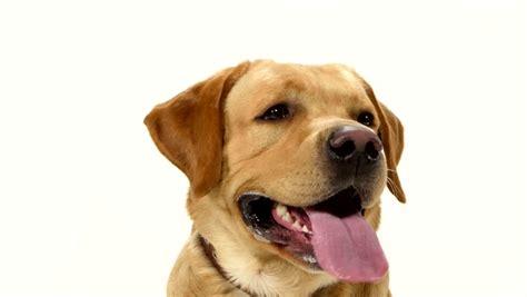 golden retriever tongue sticking out retriever panting footage stock