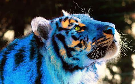 Blue Tiger blue tiger wallpaper