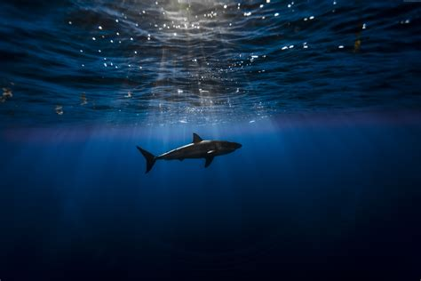 best wallpaper site home of the best wallpapers hd images wallpaper shark atlantic ocean underwater best diving