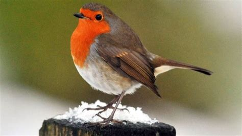 robin tops poll to find uk s national bird bbc news