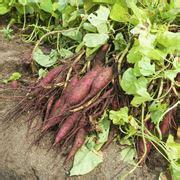 topinambur coltivazione in vaso topinambur coltivazione coltivare orto coltivare tuberi