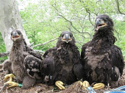 duke farms eagle cam youtube