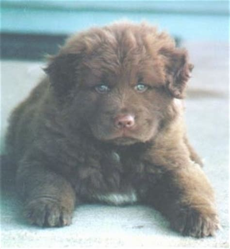 lab chow mix puppies chabrador breed information and pictures chow chow labrador retriever hybrid dogs