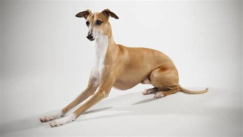 grey hound puppy italian greyhound breed selector animal planet
