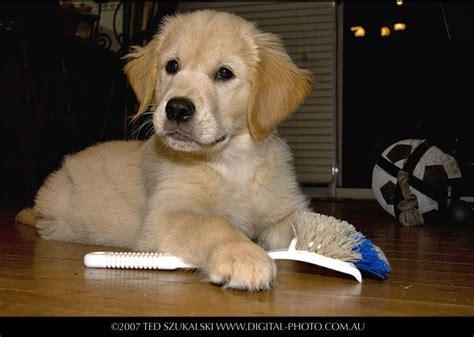 golden retriever puppy exercise golden retriever lo que no sab 237 as sobre esta raza de perro