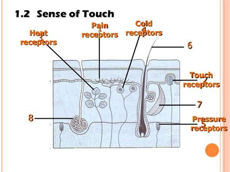 the sense of an the gallery for gt sense of touch receptors