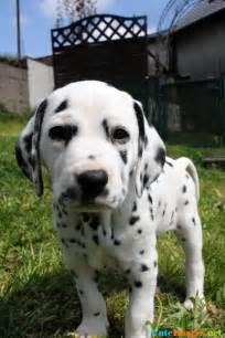 cute dalmatian puppies www imgkid image kid