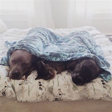best cuddle dogs 20 pit bulls that the best ways to cuddle photos