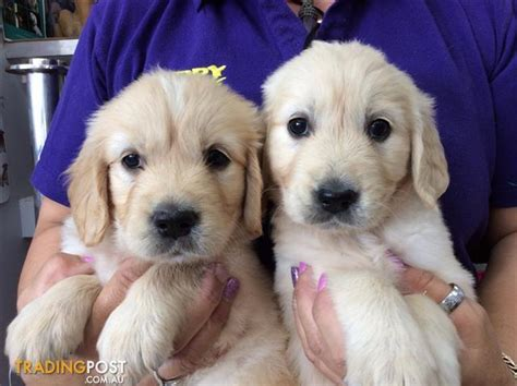 golden retriever puppies for sale scotland golden retriever puppies for sale in gold coast dogs our friends photo