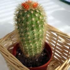 Bibit Tanaman Orange Siklam Cactus pot yang bagus untuk tanaman kaktus tanaman bunga hias
