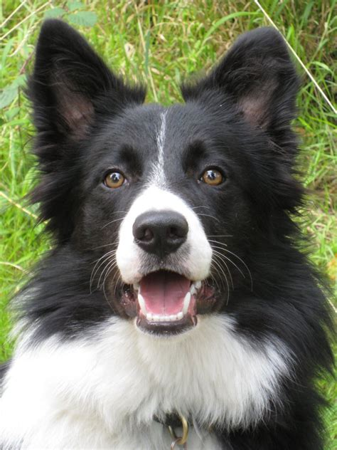 Breed profile border collie petparent