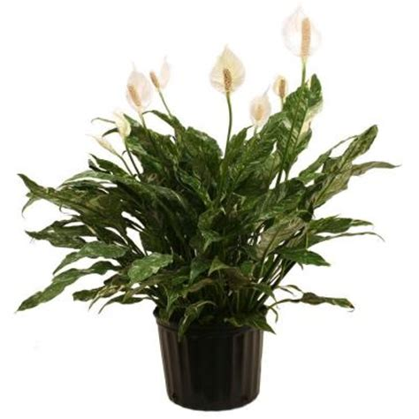 delray plants spathiphyllum domino in 9 1 4 in pot