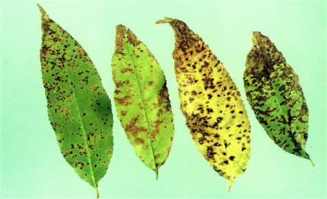 fruit tree spots fruit tree care organic disease stark bro s