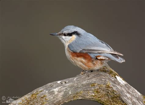 nuthatch pictures nuthatch images naturephoto