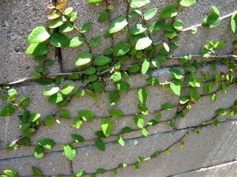 climbing fig plant creeping fig ficus pumila fast growing climbing fern tree