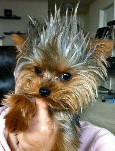 mohawk style for yorkie 16 reasons yorkshire terriers are not the friendly dogs