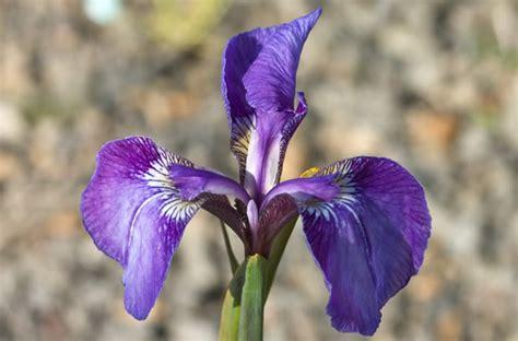 foto fiore iris significato dei fiori iris jpg