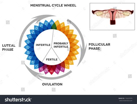 Menstrual Cycle Calendar Detailed Diagram Female Stock ... Female Period Cycle