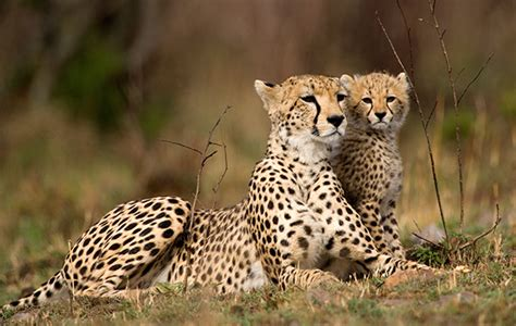 cheetah cub workshop addresses cheetah cub trafficking ifaw