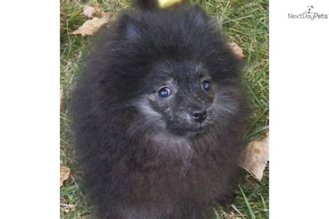 pomeranians for sale in syracuse ny pomeranian for sale for 600 near syracuse new york b3132024 0791