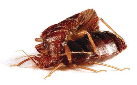 bed bugs mating news sheperspective bed bug mating