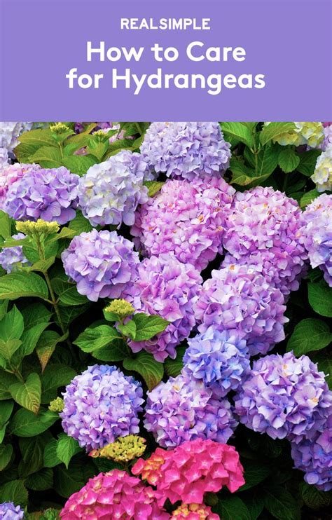 25 best ideas about caring for hydrangeas on