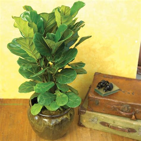 common house plant with shaped leaves houseplants you can t kill figs houseplant and air layering
