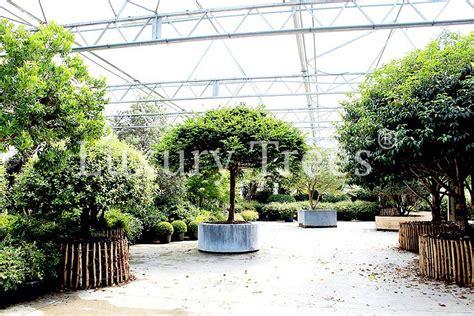 Pflege Bonsai 6380 by Taxus Baccata Hochstamm 187 Luxurytrees 174 Deutschland