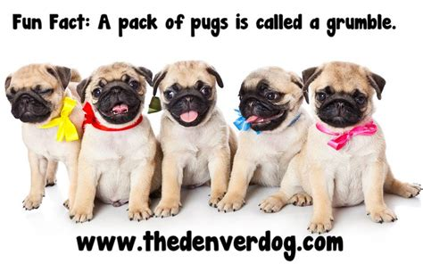 a grumble of pugs a pack of pugs is called a grumble animal