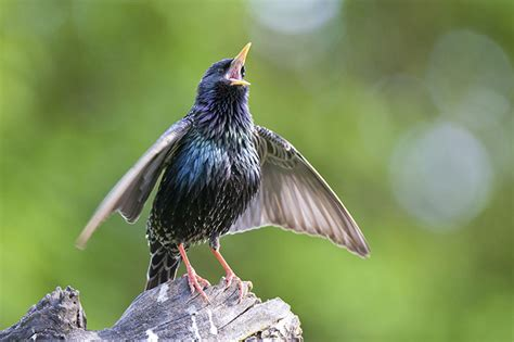 canadian wildlife federation the starlings are taking