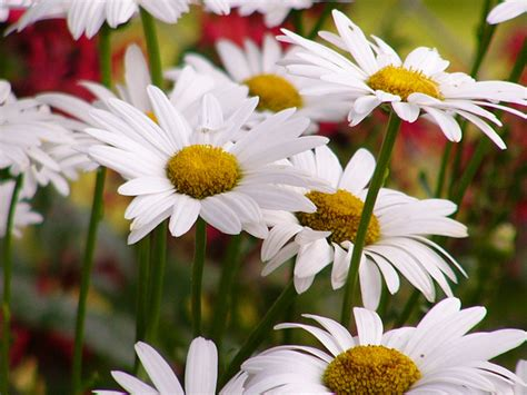 daisy facts two flowers in one facts for kids wild life nature