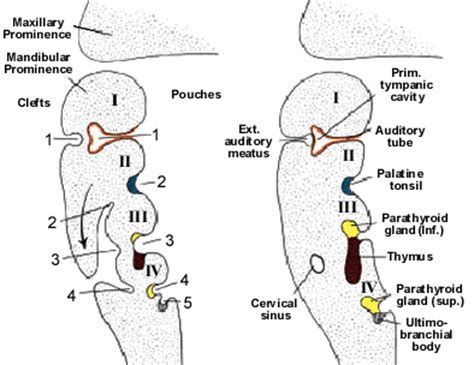Ultimobranchial Pathology Outlines by Thyroid Gland Embryology