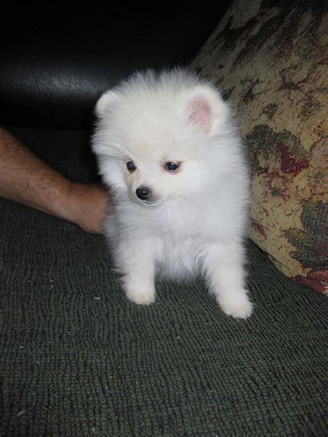 white pomeranian for adoption white pomeranian puppy animals pets malaysia chitku my