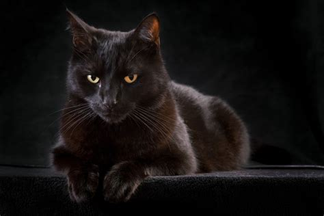 themes of black cat do black cats bring bad luck wonderopolis