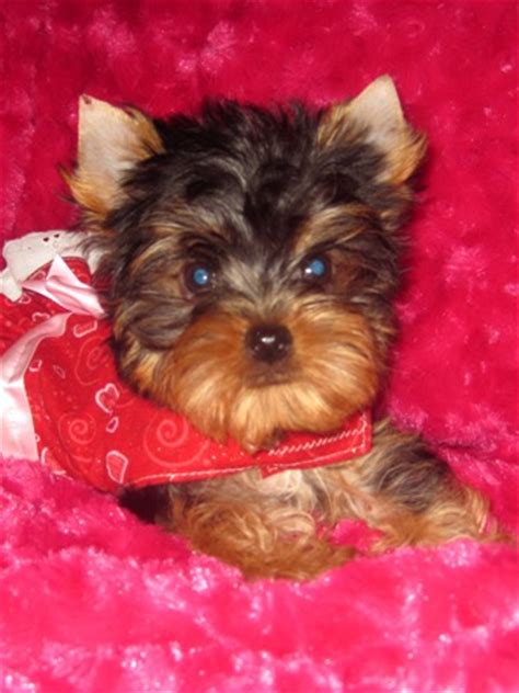 yorkie san antonio tiny teacup yorkies san antonio tx 4k wallpapers